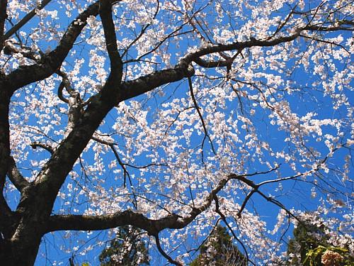 桜_0207.jpg