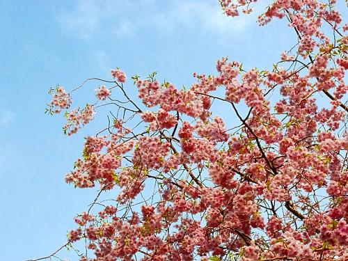 八重桜_0067-2.jpg
