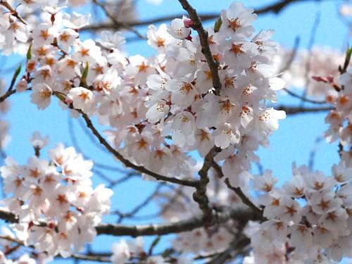 桜_0059.jpg