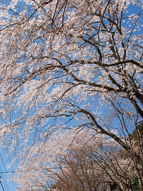 桜_0203.jpg