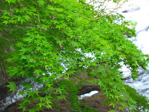 新緑の吉奈川_0334.jpg