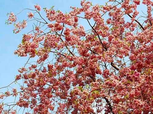 八重桜_0067-3.jpg