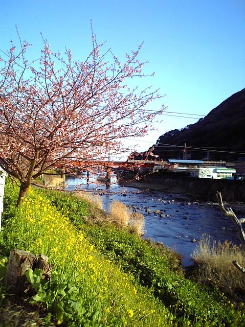 河津桜-00011.jpg