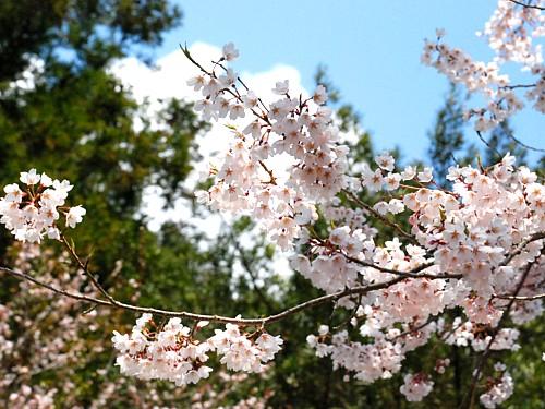 桜_0068.jpg