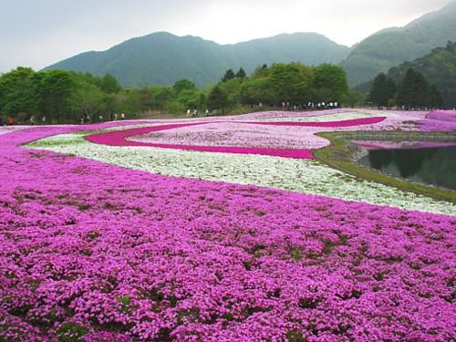 富士芝桜_0092.jpg
