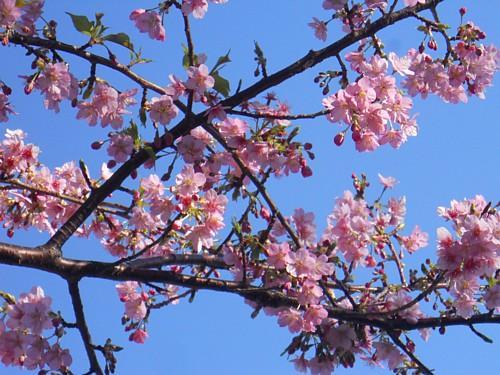 5798-井田の桜