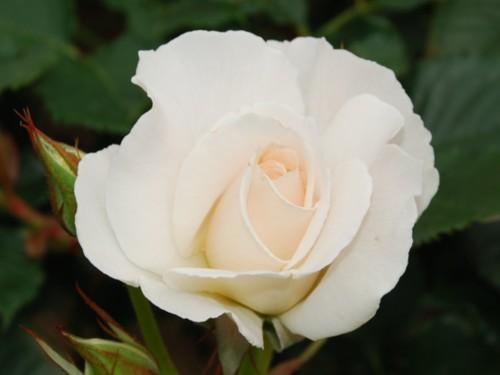 1912-バラ