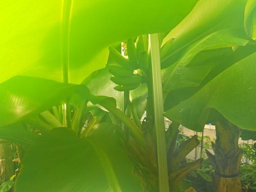 8730-飛騨バナナ